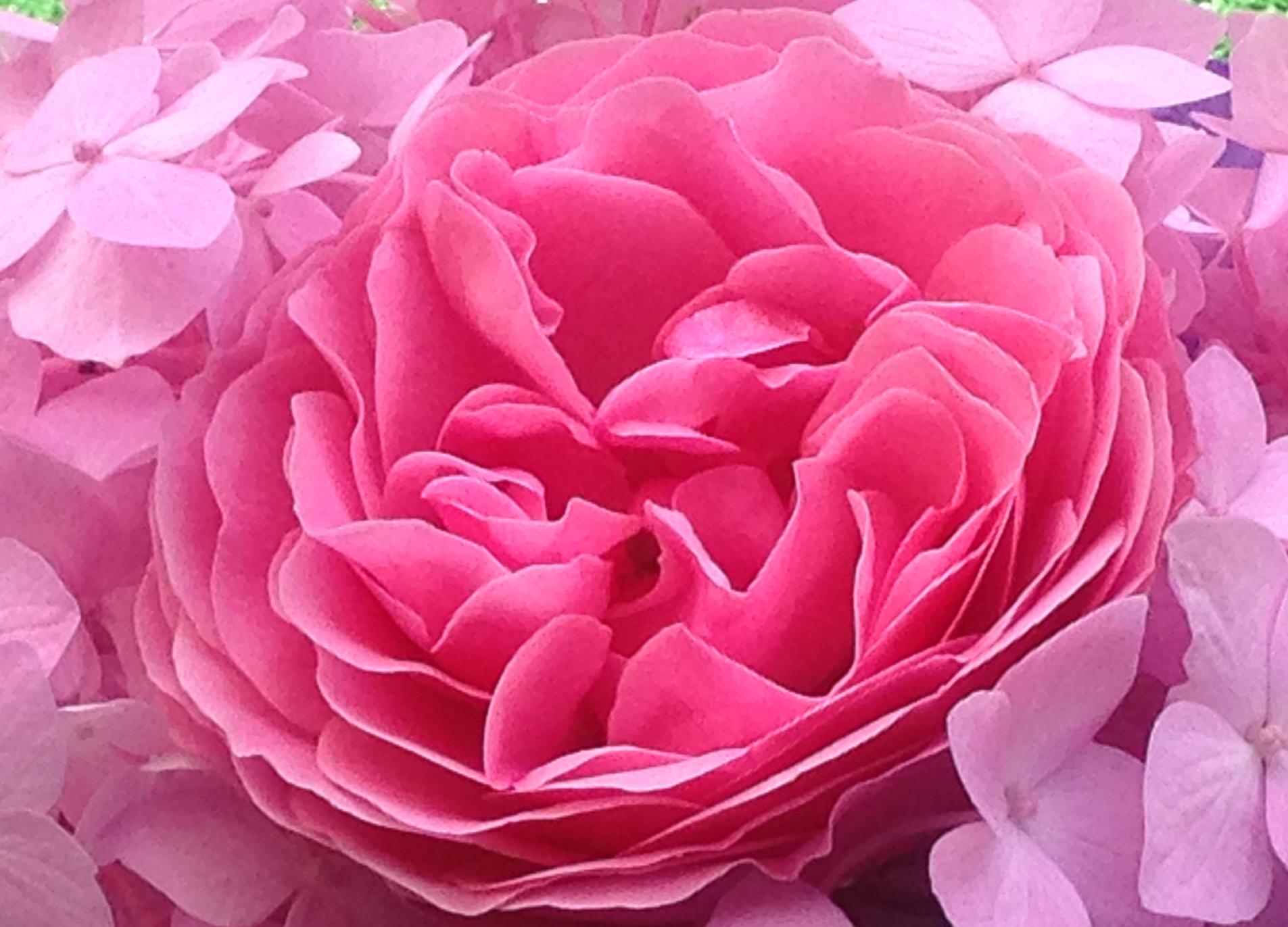 Rose unter anderen